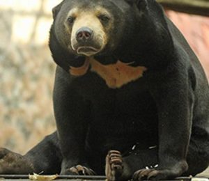 0-Sun-bear-Colchester-Zoo-website-pic